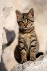 Chaton européen - petit chat malade