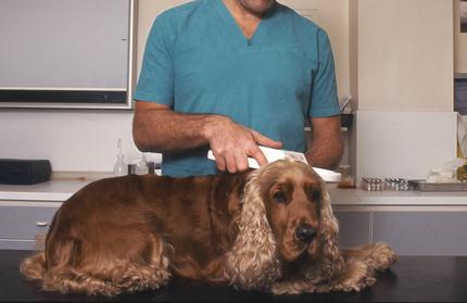 lecture de la puce électronique sur chien