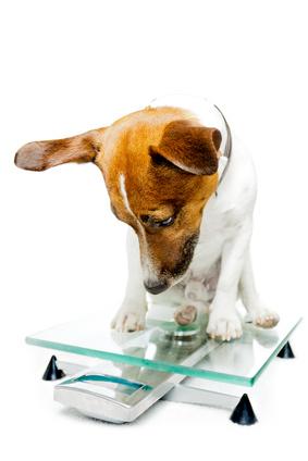 Dog on scale wondering