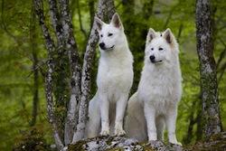 couple de bergers blancs suisse dans la forêt