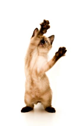 Baby Siamese kitten, playing, on white background.