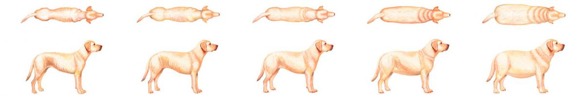 perfect_weight_bcs_dog_sprite_indice_corporel_chien_hillspet.be
