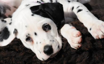 Dalmatinerwelpe mit schwarzem Ohr