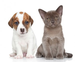 Portrait of Jack Russell terrier puppy and burmese kitten on a white background